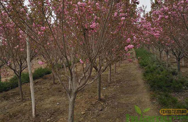 樱花树苗价格,10公分樱花树苗多少钱?