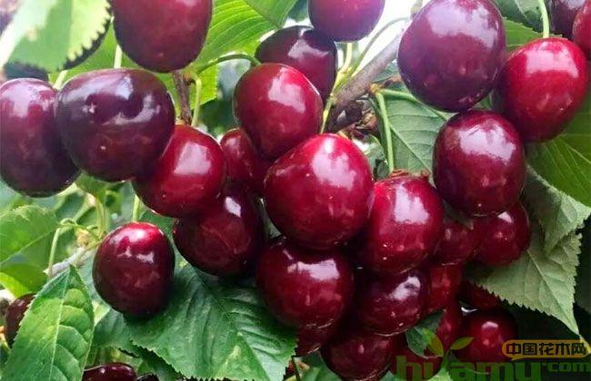 俄罗斯8号大樱桃品种