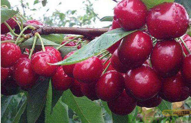 美早樱桃品种