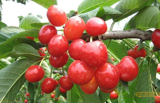 拉宾斯樱桃品种