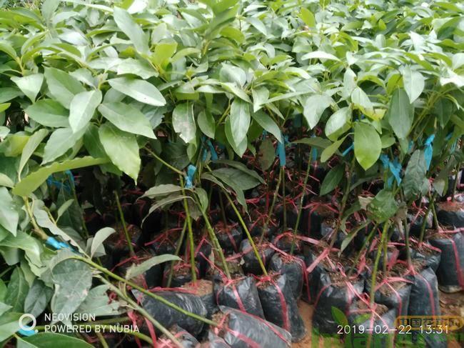 牛油果种子的种植技术