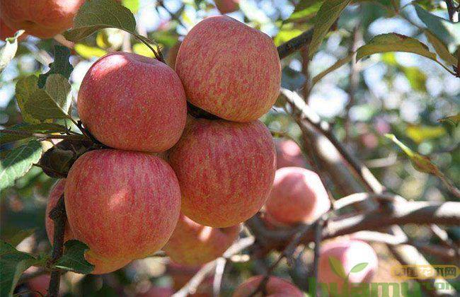 这个村的苹果不套袋,村民降本增效走上致富路