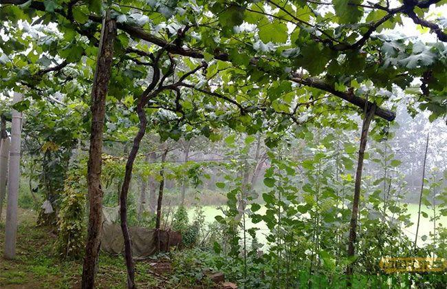 春季葡萄树长势弱就这样恢复