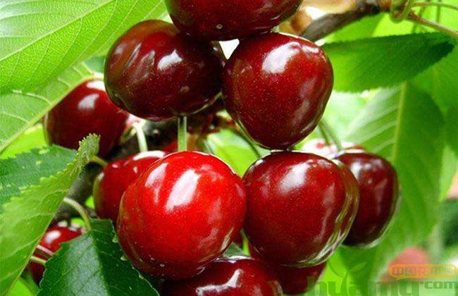 美早樱桃树苗价格多少?