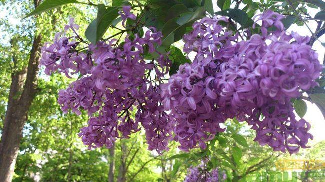紫丁香盆栽种植方法