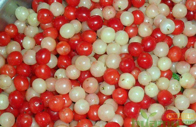 白玉樱桃树苗
