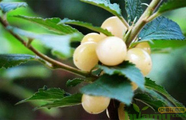 白玉樱桃树苗的市场价格