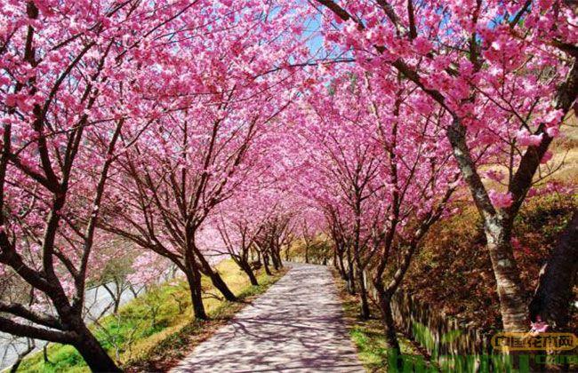 樱花树的种植前景怎样?