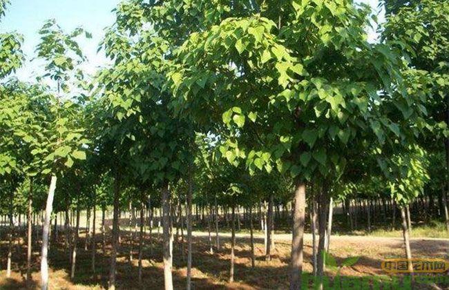 为什么在农村种植苗木最赚钱?