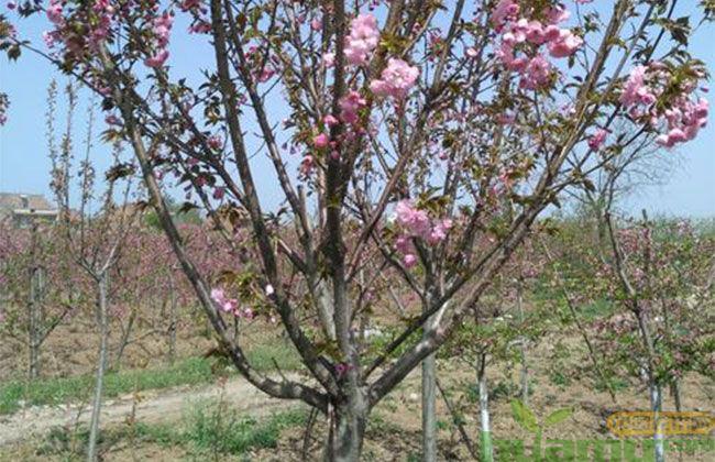 樱花树苗市场行情分析