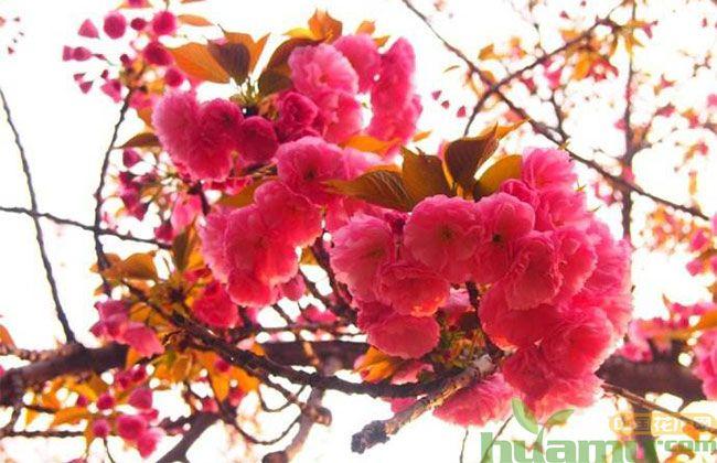 中国红樱花树苗价格