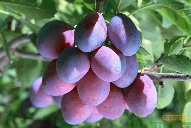 种植软枣树几年才能结果?