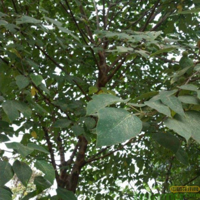 构树,构树未成熟的果实.jpg