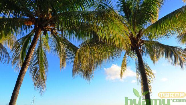 棕榈树有哪些作用?棕榈树的几个作用介绍