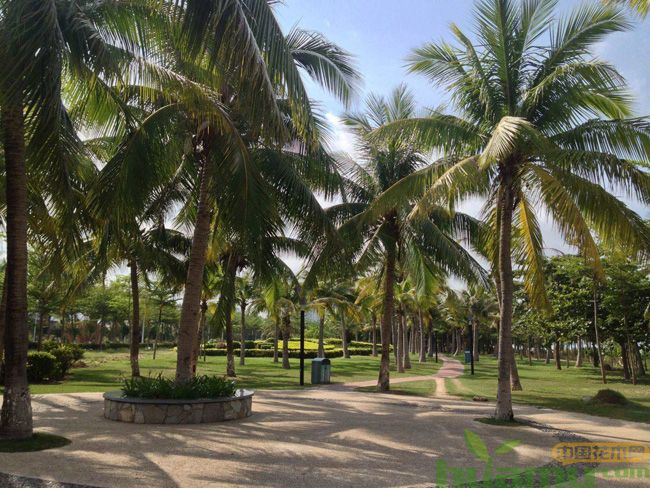 棕榈绿化树
