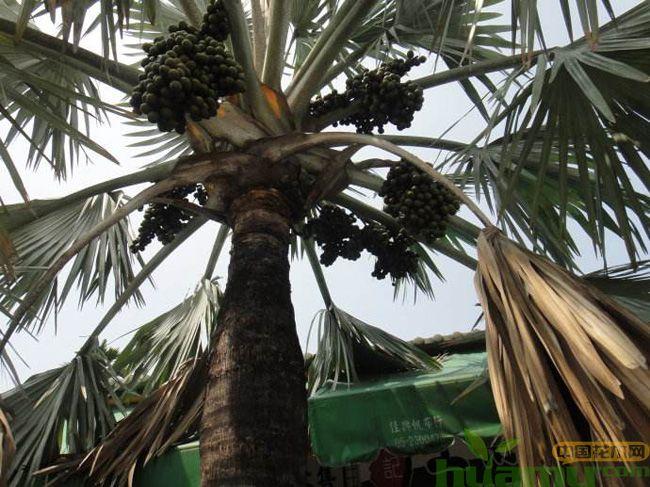 棕榈树和油棕树的区别是什么?