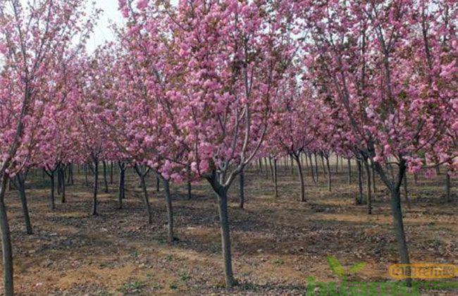 日本早樱树
