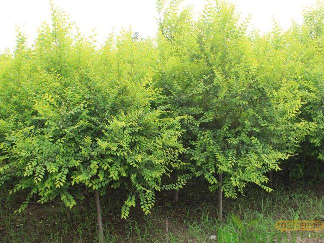 这些苗木适合在北方盐碱地种植