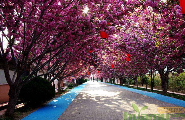 日本早樱种植时间