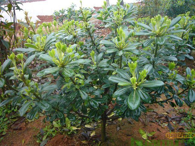 海桐的种植和管理技术
