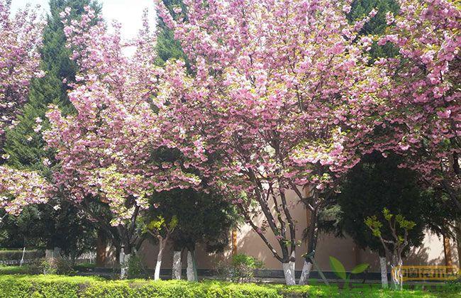 日本早樱什么时候开花?
