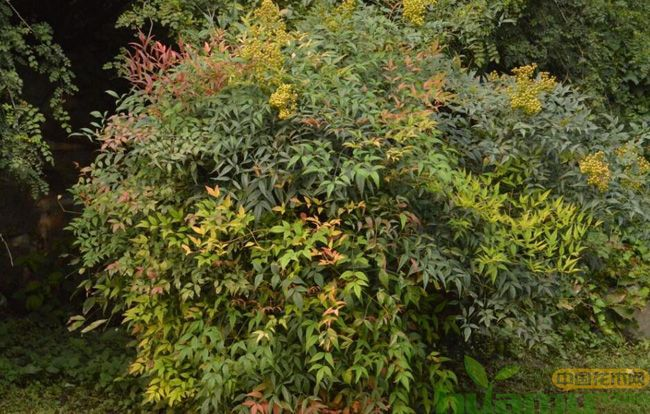 彩叶植物在园林景观设计中的应用