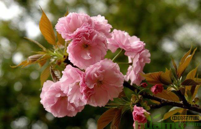 日本早樱和晚樱的区别
