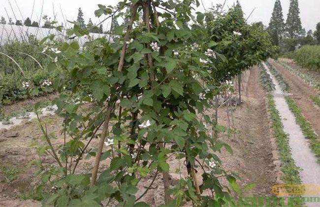 樱桃树苗16.jpg