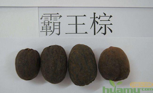霸王棕的果实长什么样?霸王棕果实能吃吗?