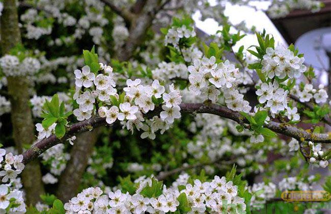 什么树可以嫁接樱桃?
