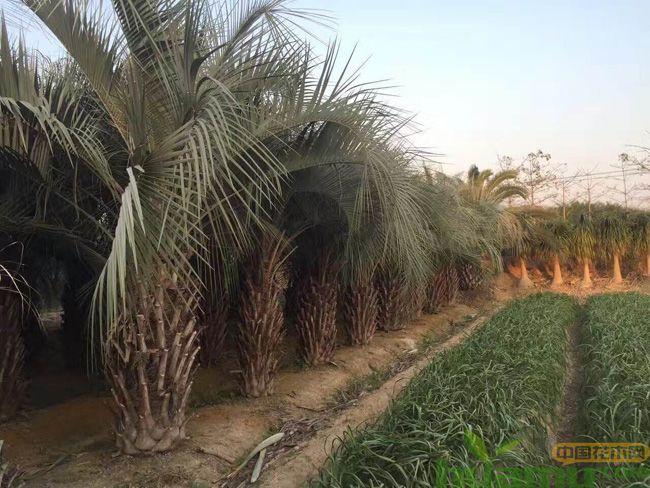 棕榈树基地实拍图片.jpg