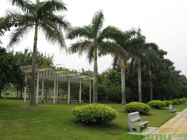 棕榈和椰子树的区别.jpg