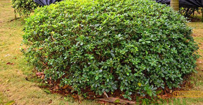 海桐树图片.jpg