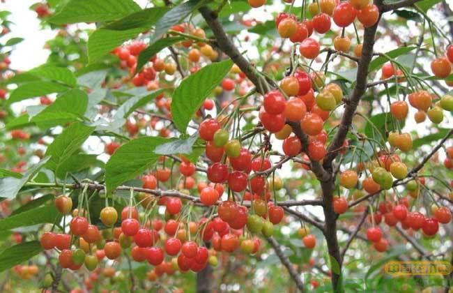 红灯大樱桃