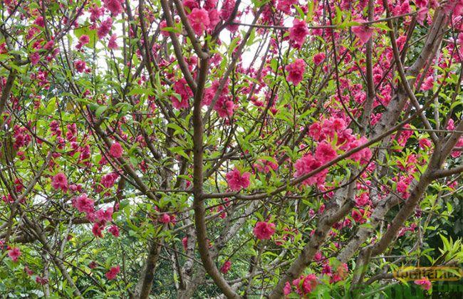 台湾牡丹樱花价格多少?