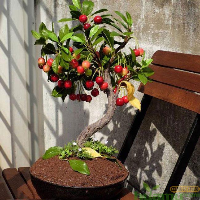 盆栽樱桃种植方法