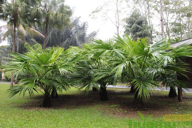 小型棕榈树