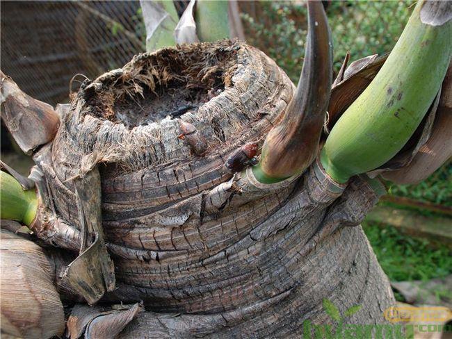 霸王棕红棕象甲病虫危害