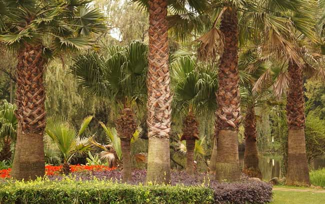 北方棕榈树