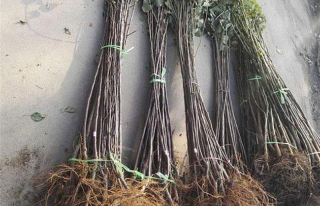 移栽旺季,这些苗可以裸根移植!