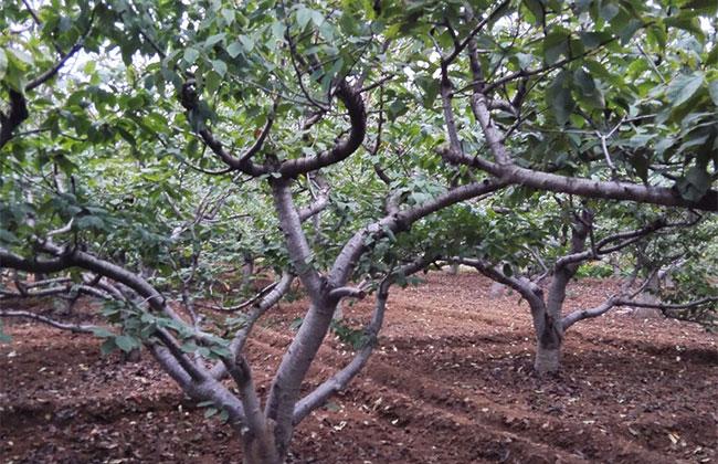 美早樱桃几月份成熟?