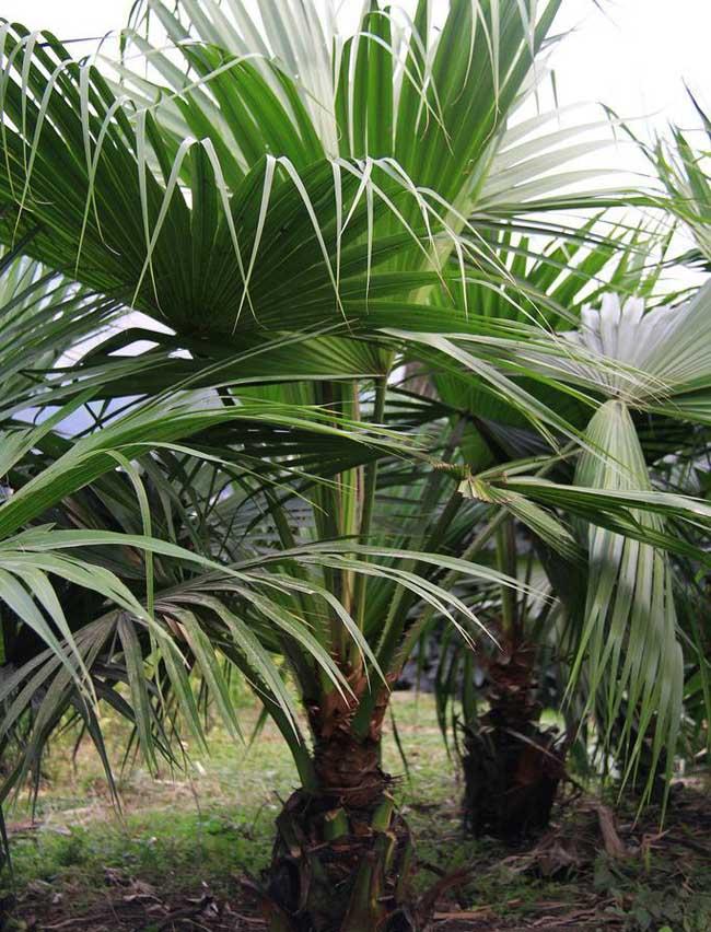 糖棕树的种植技术