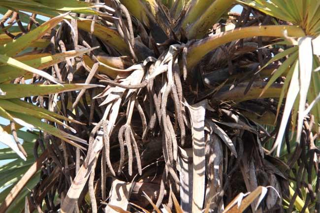 糖棕树的花期在什么时候?糖棕树的花长什么样?