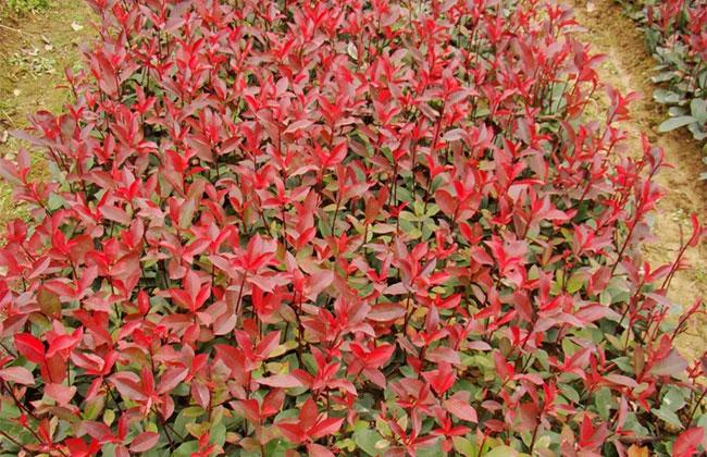 红叶石楠价格多少钱?