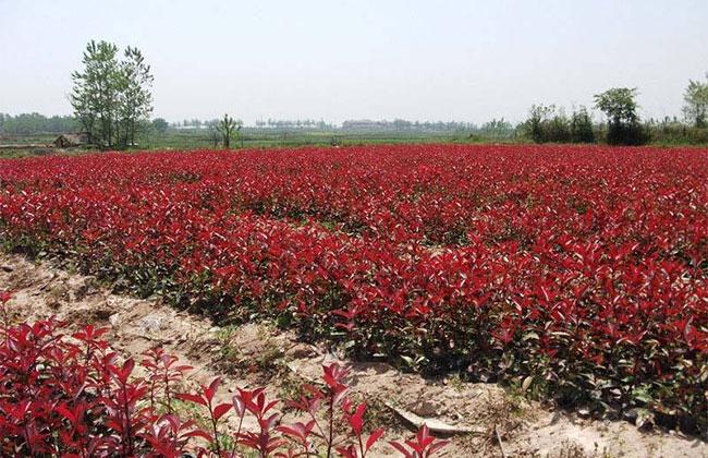红叶石楠基地实拍图片
