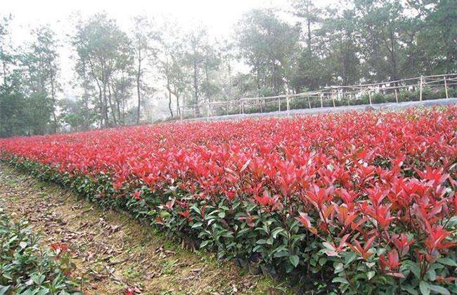红叶石楠幼苗