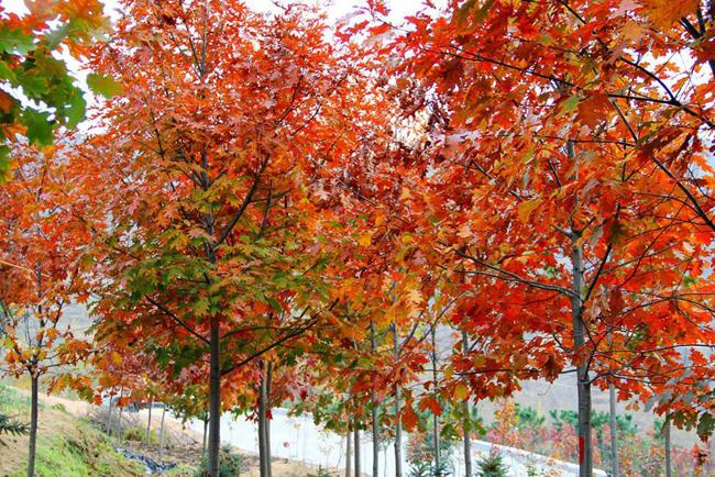 彩叶树扮靓城市景观,发展美国红橡树稳了!