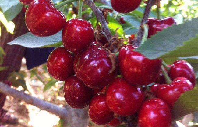 大紫樱桃种植前景如何?