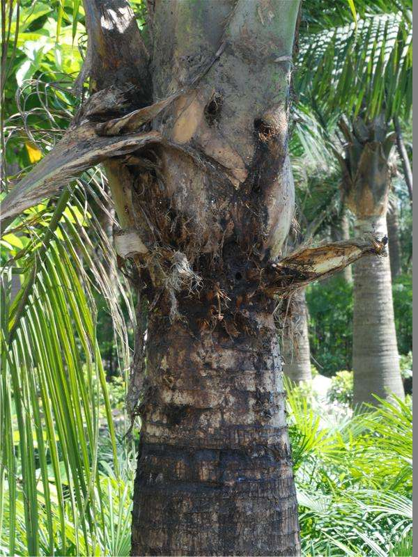 棕榈红棕象甲防治方法