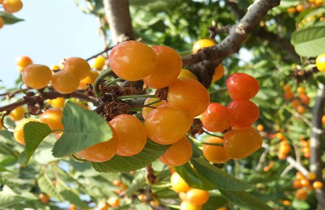 黄蜜大樱桃